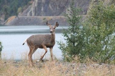 Deer_Lillooet