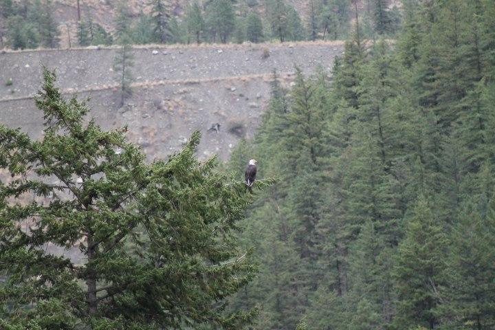 Eagle_Lillooet